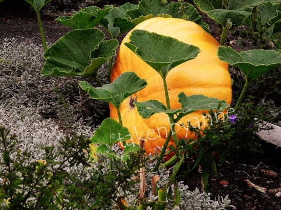 early pumpkin