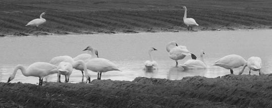 swans dec 2013