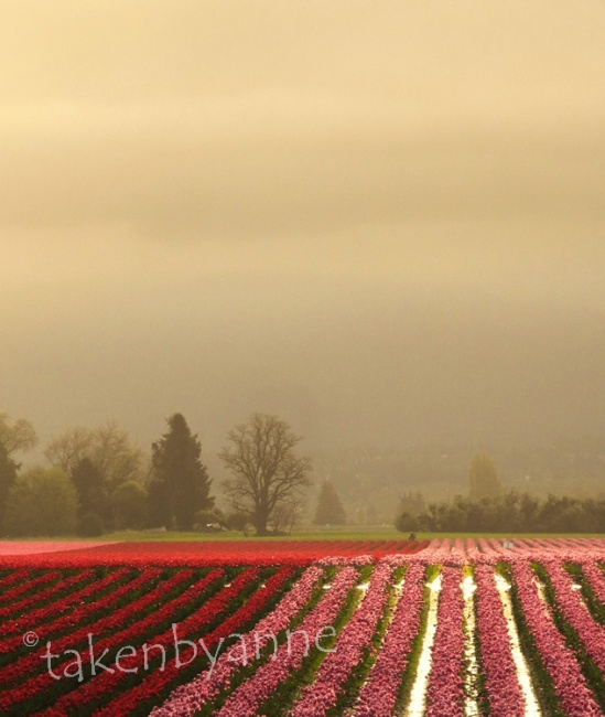 tulip fields in the morning